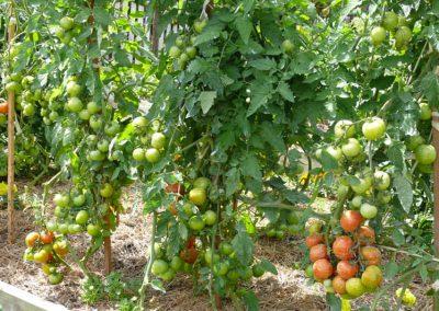 Tomato-crop1